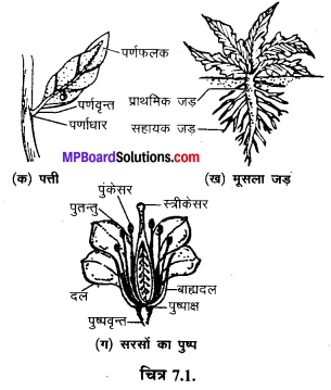 MP Board Class 6th Science Solutions Chapter 7 पौधों को जानिए 1