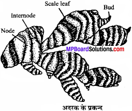 MP Board Class 11th Biology Solutions Chapter 5 पुष्पी पादपों की आकारिकी - 5