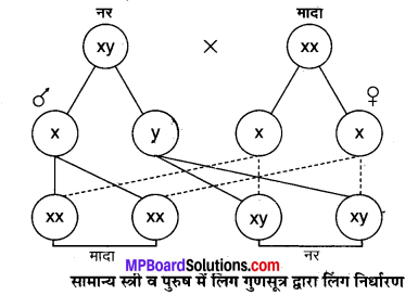 MP Board Class 10th Science Solutions Chapter 9 अनुवांशिकता एवं जैव विकास 1