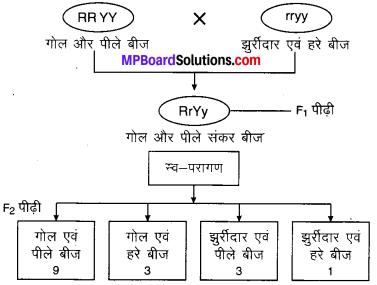 MP Board Class 10th Science Solutions Chapter 9 अनुवांशिकता एवं जैव विकास 8