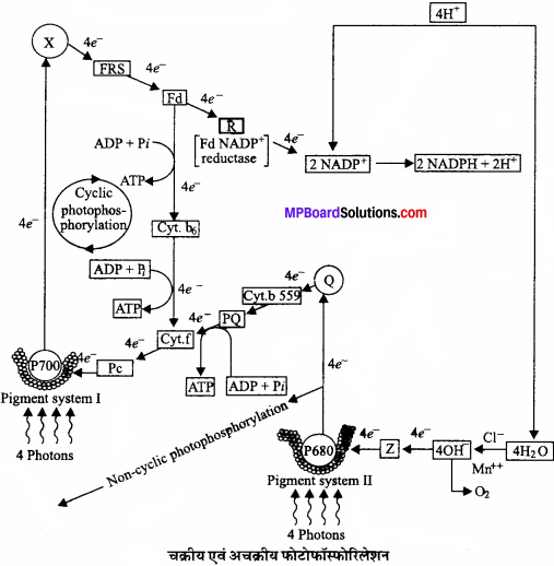 MP Board Class 11th Biology Solutions Chapter 13 उच्च पादपों में प्रकाश-संश्लेषण - 15