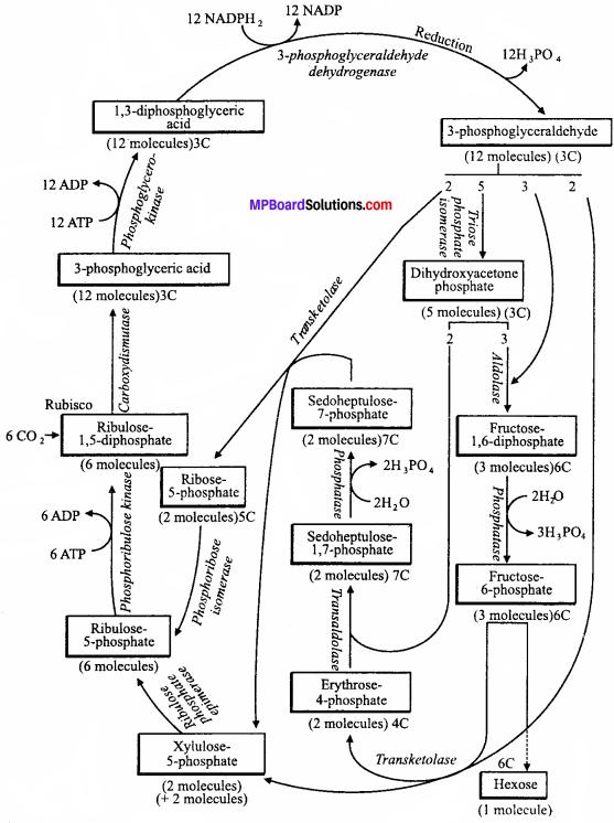MP Board Class 11th Biology Solutions Chapter 13 उच्च पादपों में प्रकाश-संश्लेषण - 16