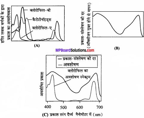 MP Board Class 11th Biology Solutions Chapter 13 उच्च पादपों में प्रकाश-संश्लेषण - 3