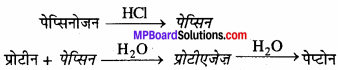 MP Board Class 11th Biology Solutions Chapter 16 पाचन एवं अवशोषण - 10