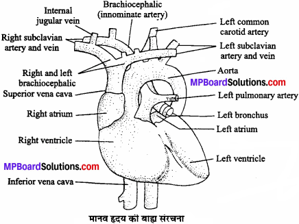MP Board Class 11th Biology Solutions Chapter 18 शरीर द्रव तथा परिसंचरण - 10