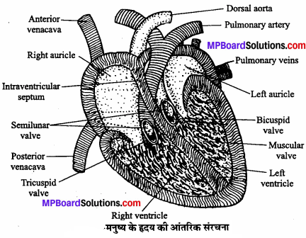 MP Board Class 11th Biology Solutions Chapter 18 शरीर द्रव तथा परिसंचरण - 11