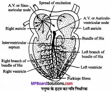 MP Board Class 11th Biology Solutions Chapter 18 शरीर द्रव तथा परिसंचरण - 12