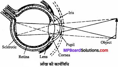 MP Board Class 11th Biology Solutions Chapter 21 तंत्रिकीय नियंत्रण एवं समन्वय - 14