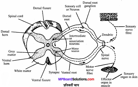 MP Board Class 11th Biology Solutions Chapter 21 तंत्रिकीय नियंत्रण एवं समन्वय - 17