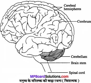 MP Board Class 11th Biology Solutions Chapter 21 तंत्रिकीय नियंत्रण एवं समन्वय - 3