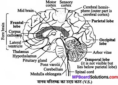 MP Board Class 11th Biology Solutions Chapter 21 तंत्रिकीय नियंत्रण एवं समन्वय - 4
