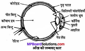 MP Board Class 11th Biology Solutions Chapter 21 तंत्रिकीय नियंत्रण एवं समन्वय - 5