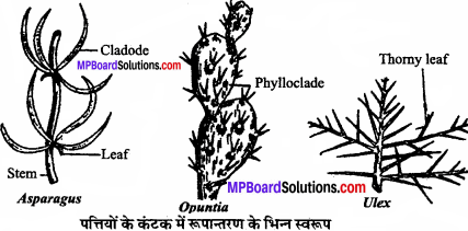 MP Board Class 11th Biology Solutions Chapter 5 पुष्पी पादपों की आकारिकी - 17