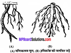 MP Board Class 11th Biology Solutions Chapter 5 पुष्पी पादपों की आकारिकी - 37