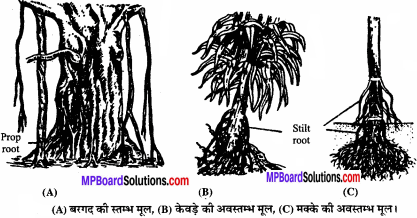 MP Board Class 11th Biology Solutions Chapter 5 पुष्पी पादपों की आकारिकी - 38