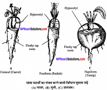 MP Board Class 11th Biology Solutions Chapter 5 पुष्पी पादपों की आकारिकी - 41