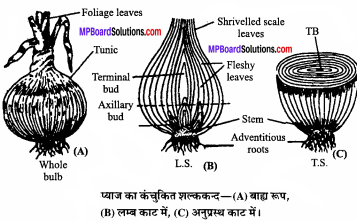 MP Board Class 11th Biology Solutions Chapter 5 पुष्पी पादपों की आकारिकी - 43