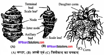MP Board Class 11th Biology Solutions Chapter 5 पुष्पी पादपों की आकारिकी - 45