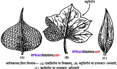 MP Board Class 11th Biology Solutions Chapter 5 पुष्पी पादपों की आकारिकी - 48