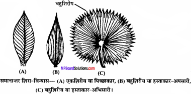 MP Board Class 11th Biology Solutions Chapter 5 पुष्पी पादपों की आकारिकी - 49
