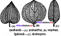 MP Board Class 11th Biology Solutions Chapter 5 पुष्पी पादपों की आकारिकी - 50