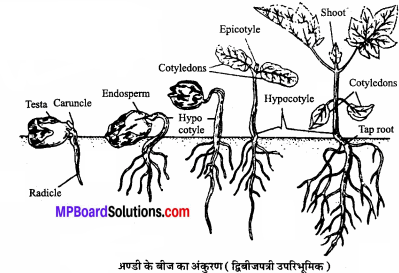 MP Board Class 11th Biology Solutions Chapter 5 पुष्पी पादपों की आकारिकी - 53