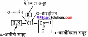 MP Board Class 11th Biology Solutions Chapter 9 जैव अणु - 13