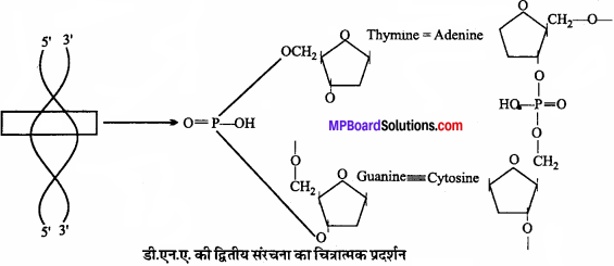 MP Board Class 11th Biology Solutions Chapter 9 जैव अणु - 3