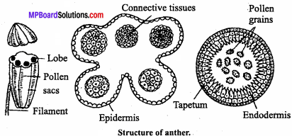 MP Board Class 12th Biology Important Questions Chapter 2 Sexual Reproduction in Flowering Plants 5