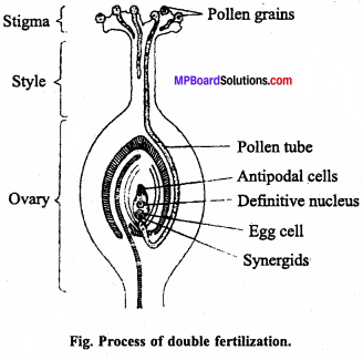 MP Board Class 12th Biology Important Questions Chapter 2 Sexual Reproduction in Flowering Plants 8