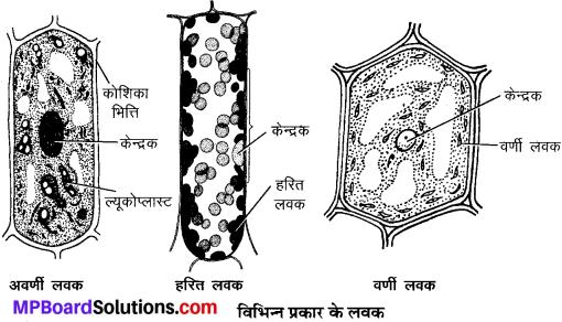 MP Board Class 9th Science Solutions Chapter 5 जीवन की मौलिक इकाई image 10