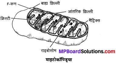 MP Board Class 9th Science Solutions Chapter 5 जीवन की मौलिक इकाई image 9