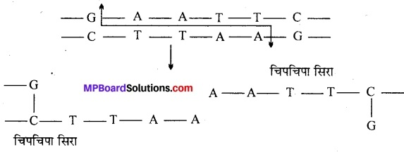 MP Board Class 12th Biology Solutions Chapter 11 जैव प्रौद्योगिकी-सिद्धान्त व प्रक्रम 2
