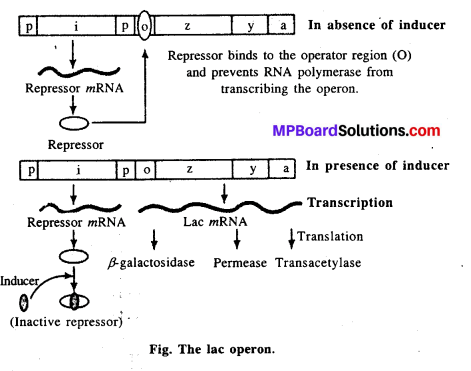 MP Board Class 12th Biology Solutions Chapter 6 Molecular Basis of Inheritance 6