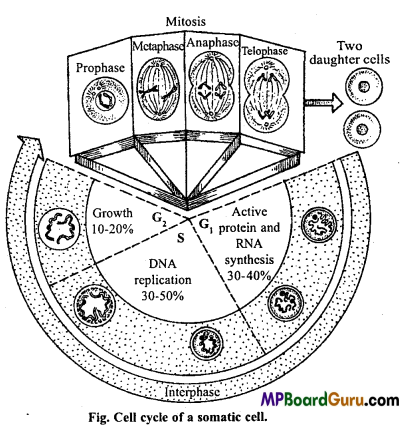MP Board Class 11th Biology Important Questions Chapter 10 Cell Cycle and Cell Division 12