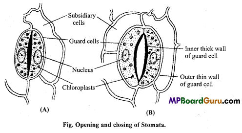 MP Board Class 11th Biology Important Questions Chapter 11 Transport in Plants 3
