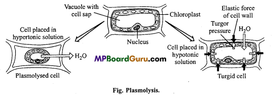 MP Board Class 11th Biology Important Questions Chapter 11 Transport in Plants 4