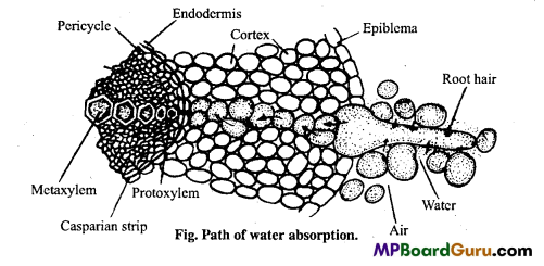 MP Board Class 11th Biology Important Questions Chapter 11 Transport in Plants 6