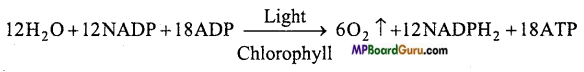 MP Board Class 11th Biology Important Questions Chapter 13 Photosynthesis in Higher Plants 9
