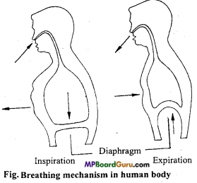 MP Board Class 11th Biology Important Questions Chapter 17 Breathing and Exchange of Gases 2