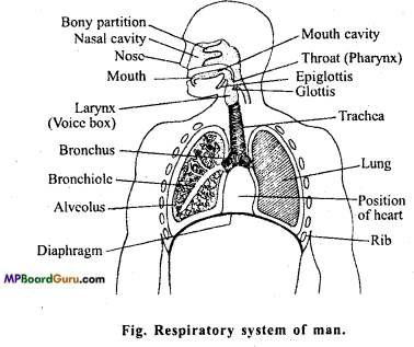MP Board Class 11th Biology Important Questions Chapter 17 Breathing and Exchange of Gases 6