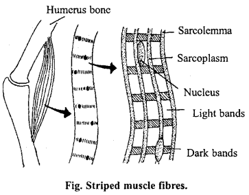 MP Board Class 11th Biology Important Questions Chapter 20 Locomotion and Movement 6