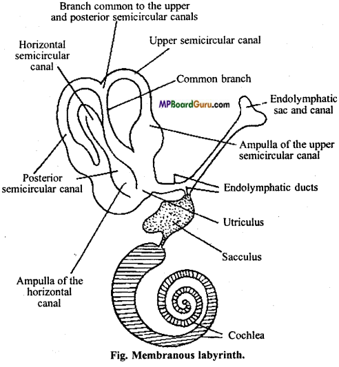 MP Board Class 11th Biology Important Questions Chapter 21 Neural Control and Coordination 10
