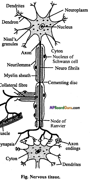 MP Board Class 11th Biology Important Questions Chapter 21 Neural Control and Coordination 12