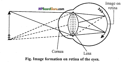 MP Board Class 11th Biology Important Questions Chapter 21 Neural Control and Coordination 13