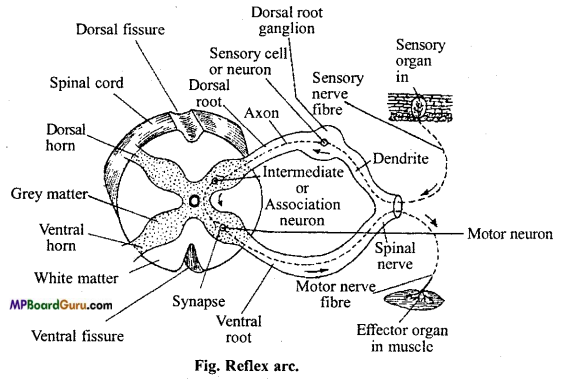MP Board Class 11th Biology Important Questions Chapter 21 Neural Control and Coordination 15