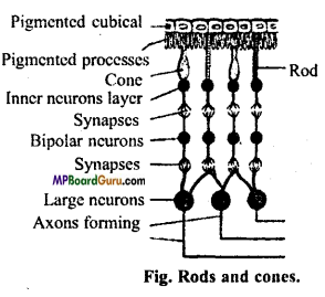 MP Board Class 11th Biology Important Questions Chapter 21 Neural Control and Coordination 2