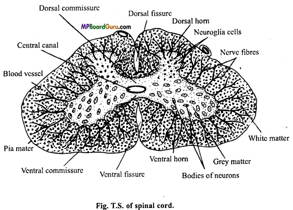 MP Board Class 11th Biology Important Questions Chapter 21 Neural Control and Coordination 3