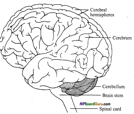 MP Board Class 11th Biology Important Questions Chapter 21 Neural Control and Coordination 6