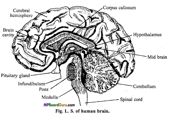 MP Board Class 11th Biology Important Questions Chapter 21 Neural Control and Coordination 7